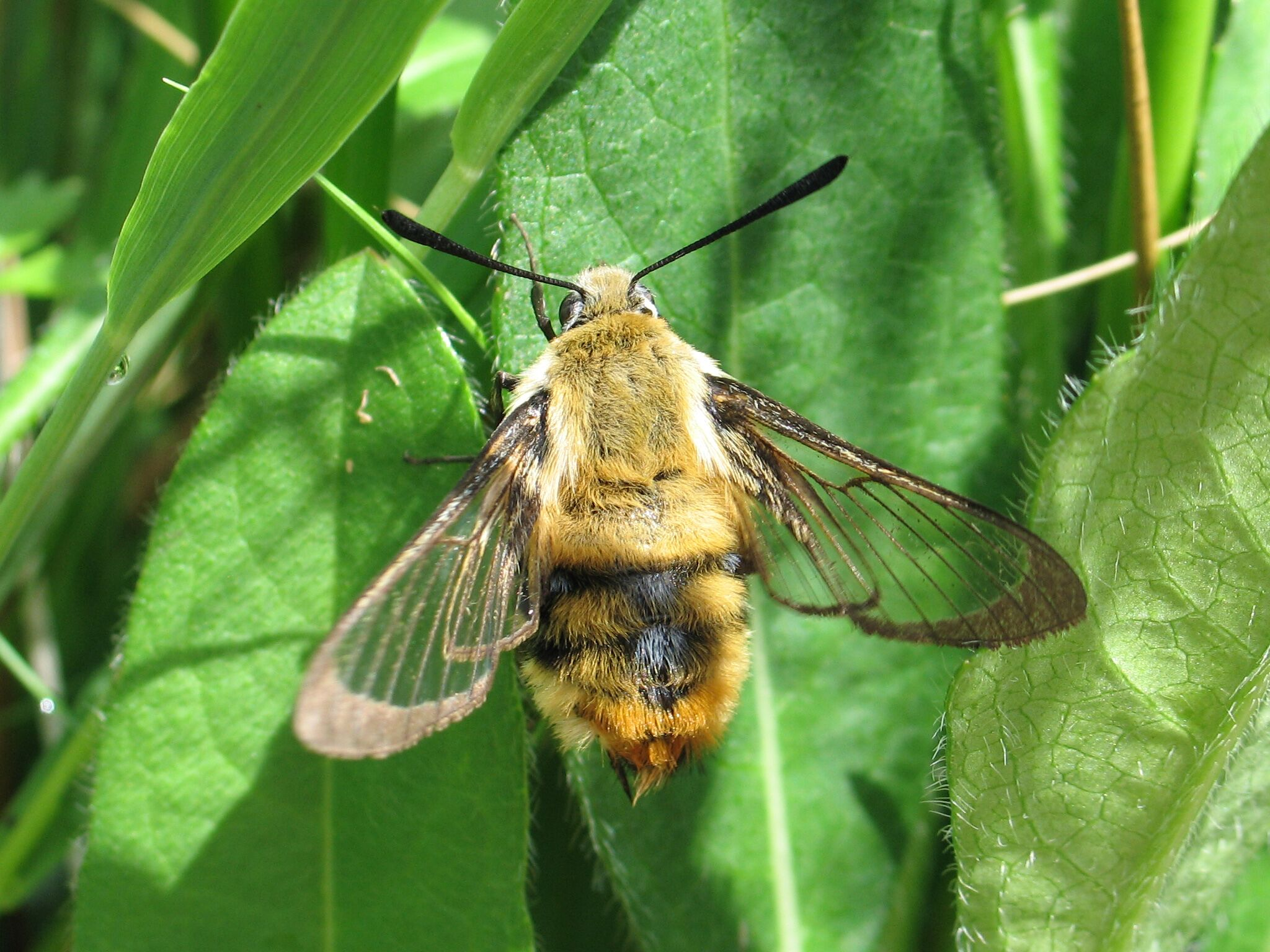 Narrow-bordered Bee Hawk-moth