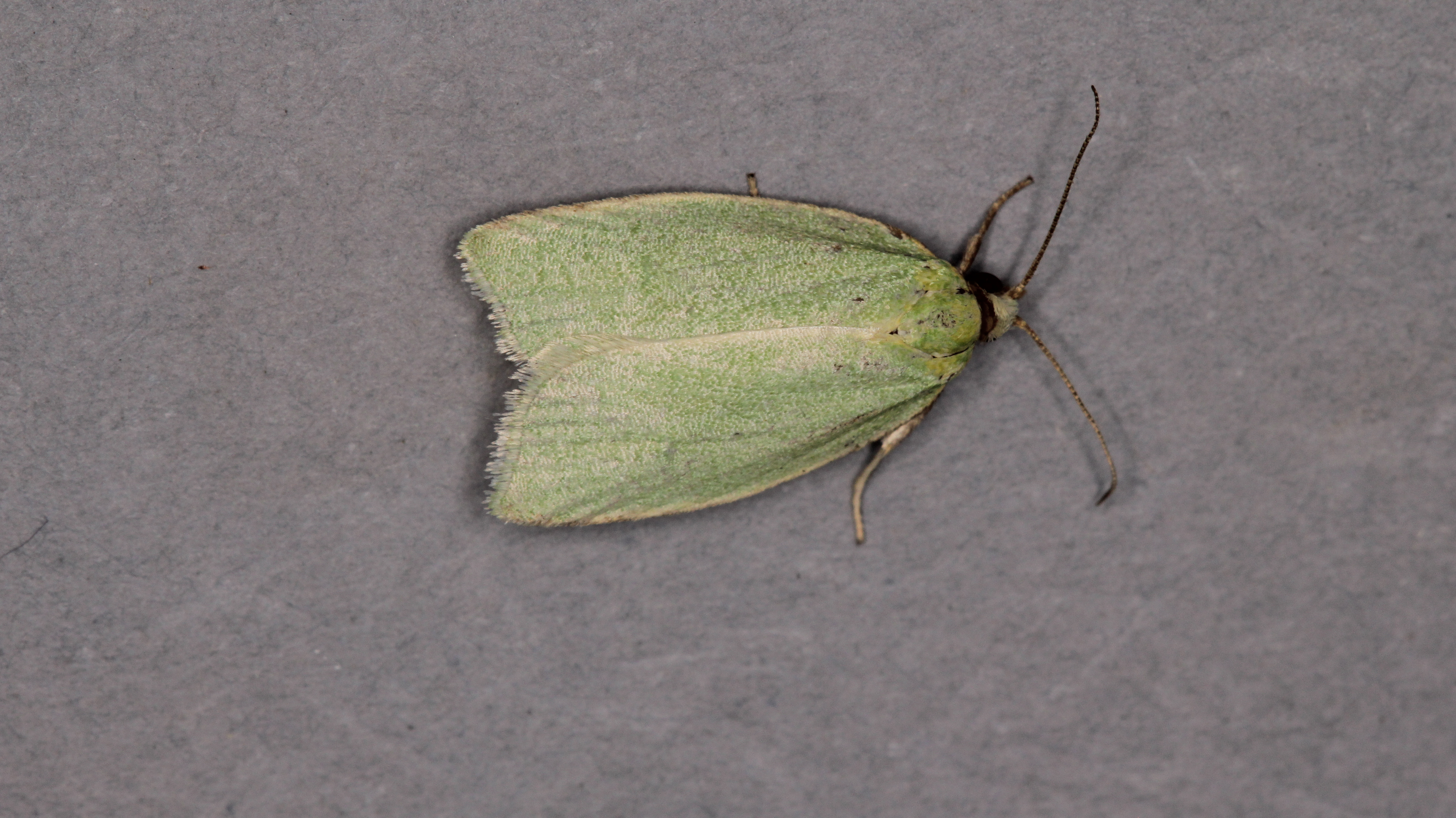 Green Oak Tortrix